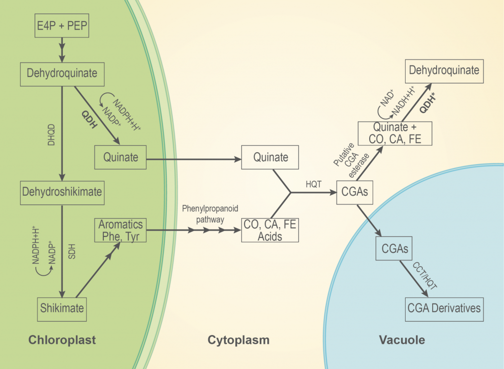 Model for quinate metabolism in plants
