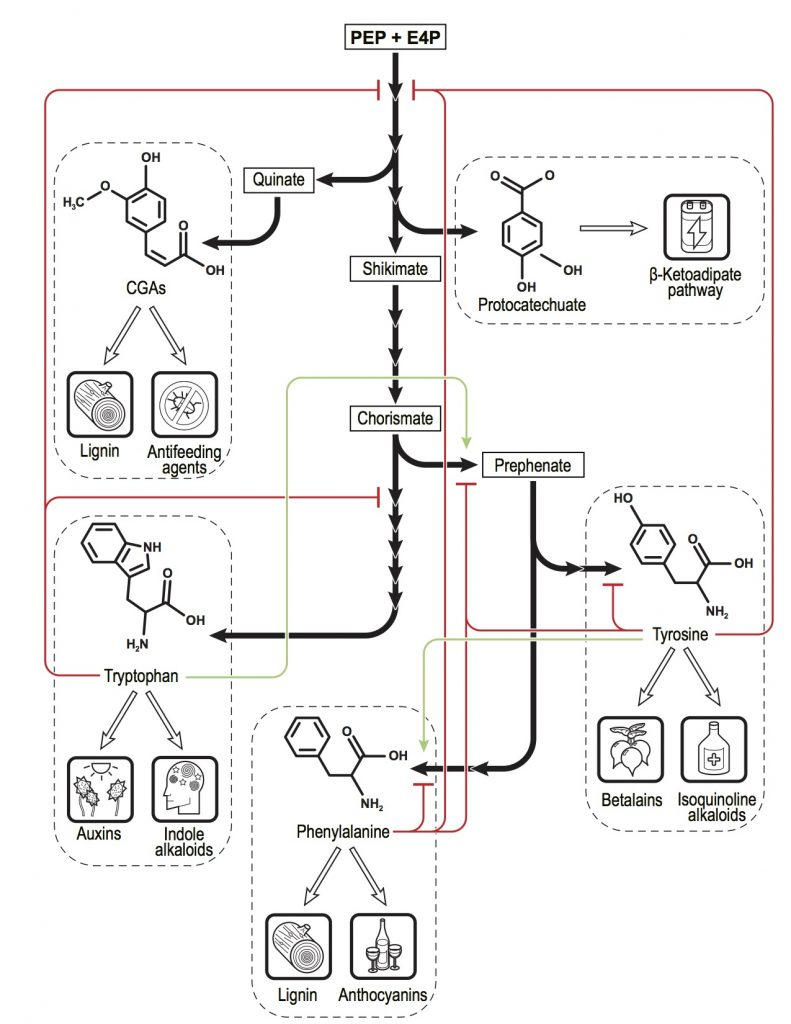 Overview of shikimate pathway regulation. Art by Victor Tulceanu