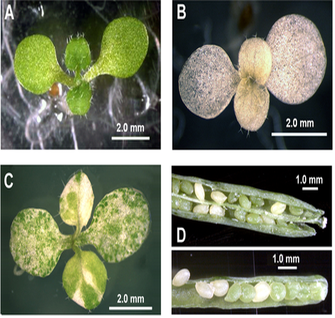 Arabidopsis seedlings with various T-DNA insertions in the